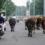 インドの道路を歩く牛の集団
