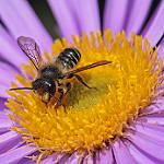 花の上に乗る蜂