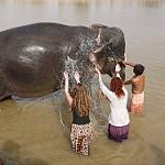 川辺で象の体をタワシで洗うボランティアの白人女性たち