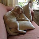 クッションに寝そべる犬