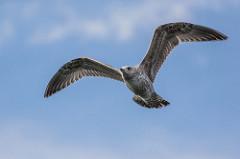 両翼を広げ空を飛ぶ鳥