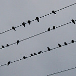 電線の小鳥たち