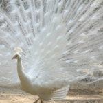 真っ白な孔雀
