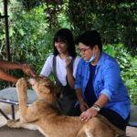 虎やライオンを直接撫でる事ができるズービック・サファリ