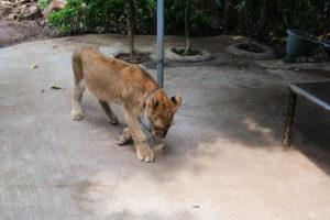 子供ライオン
