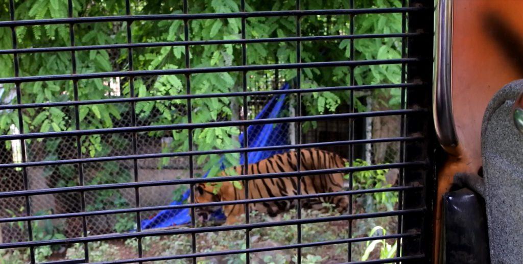 タイガーゾーンで放し飼いにされているトラ