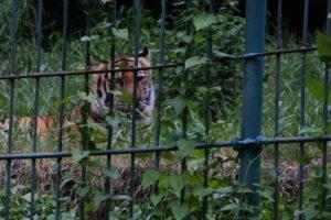 私設動物園の虎
