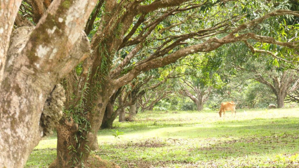 マンゴーの森