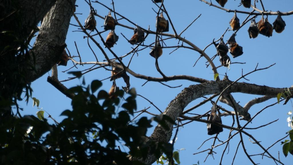 木にぶらさがる大量のコウモリ
